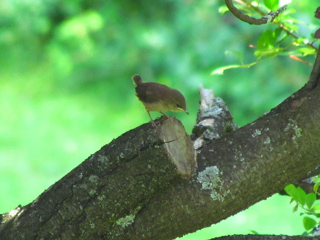 house wren welcome to world