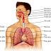 Cấu trúc đường hô hấp trên và dưới của cơ thể
