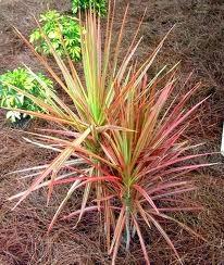 Jual pohon three color | aneka tanaman | aneka rumput | suplier tanaman