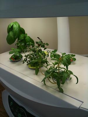 aerogarden, plant, gardening, basil, tomato, mold, plants, herbs