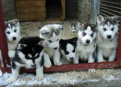 Cute Siberian Husky Puppies Photos Cute Puppies Pictures