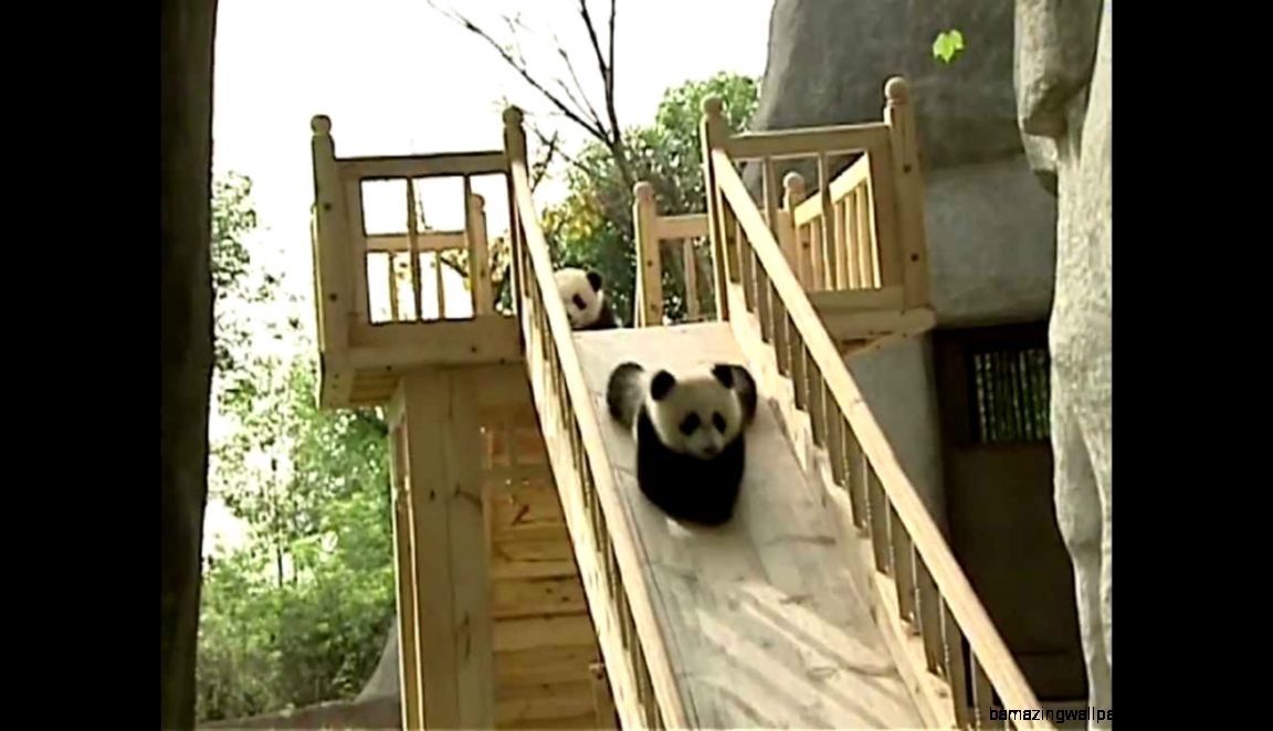 Cute pandas playing on the slide   YouTube