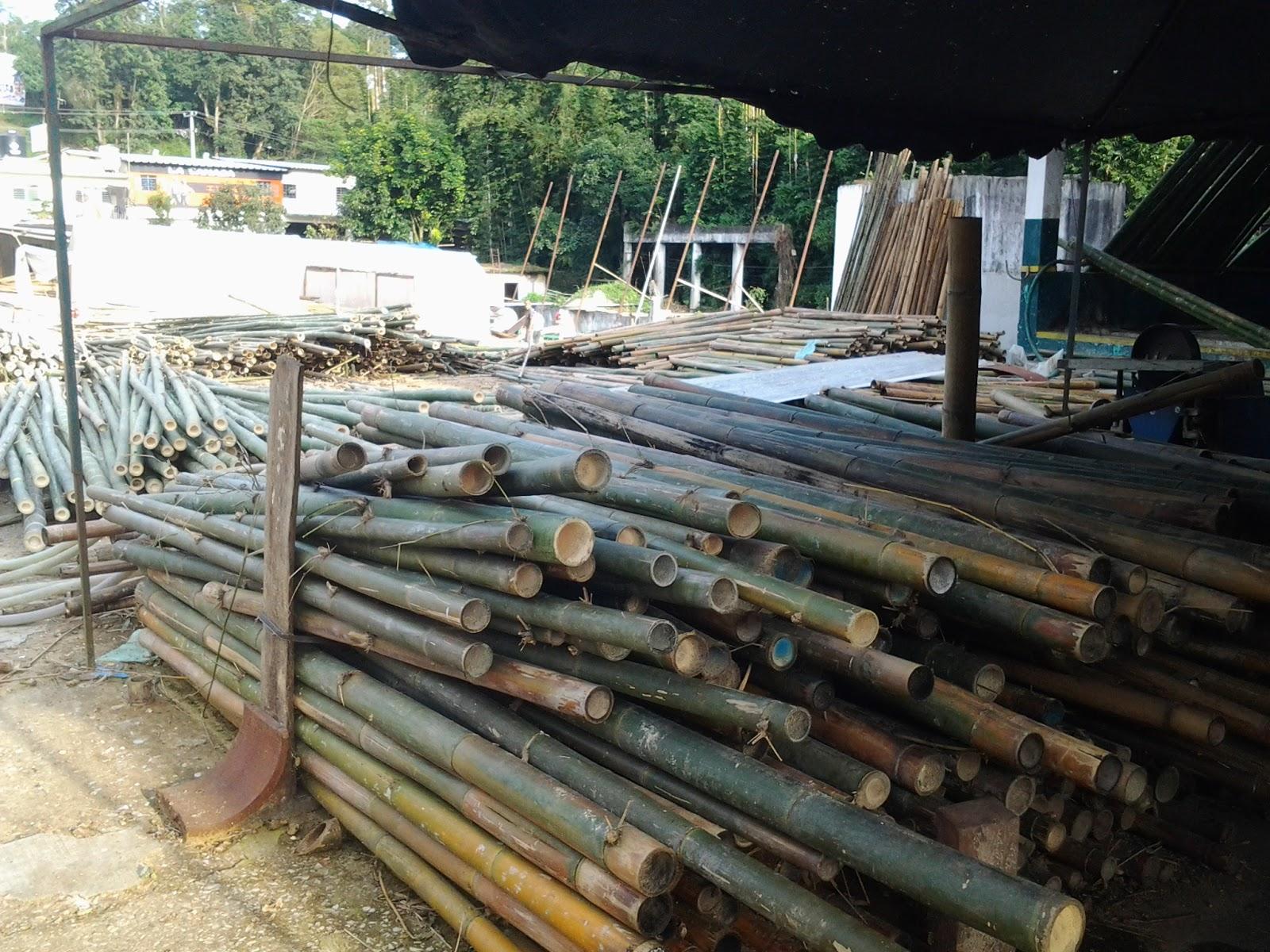 Bambu de veracruz - Reproduccion del bambu ...