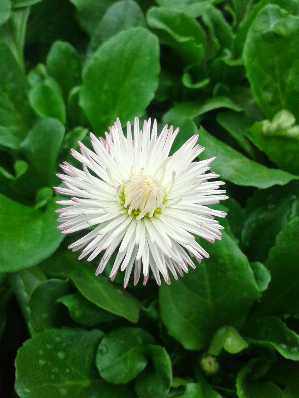 Gogardennow english daisy bellis perennis the flower of english daisy bellis perennis the flower of innocence and healing izmirmasajfo