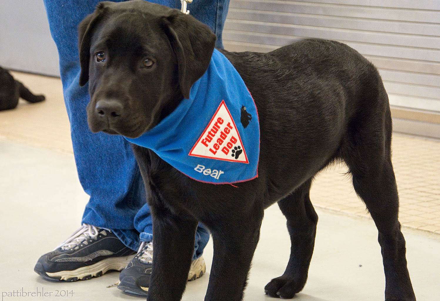 A young black lab puppy is standing next to legs dressed in blue pants. The puppy is wearing the blue Future Leader Dog bandana. The puppy is looking at the camera.