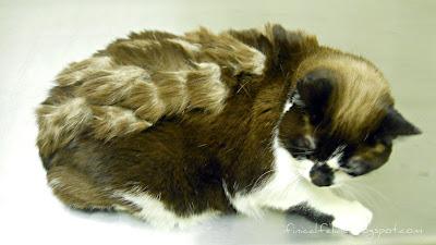 The Finical Feline Quot Just Quot A Shorthair Cat