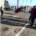 Makedonischer Stier will nicht auf die Schlachtbank und flüchtet in Tankstelle
