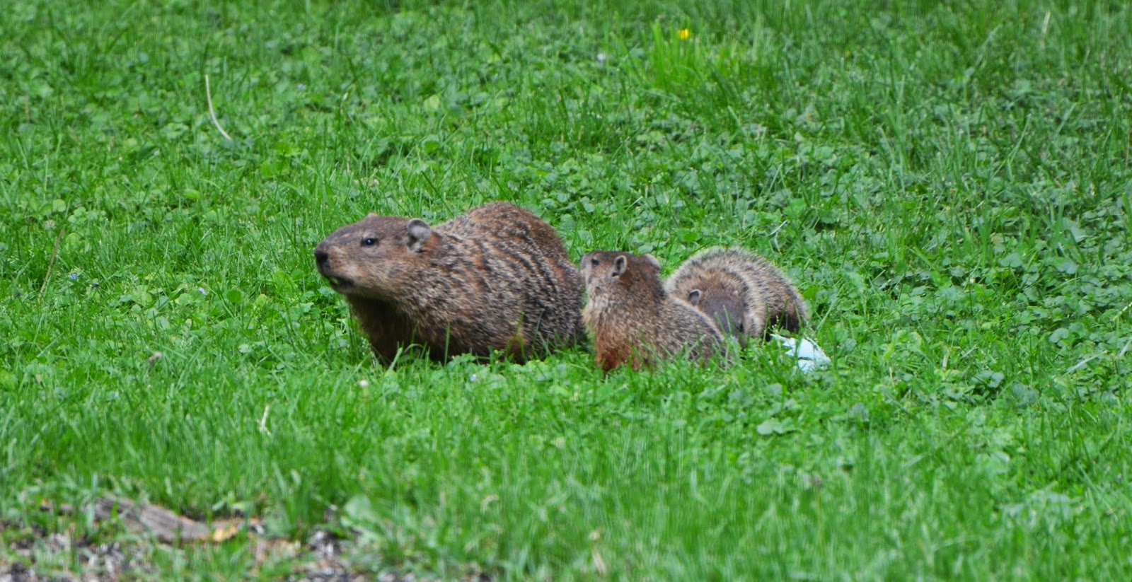 tales from the wilds woodchucks at home and at large