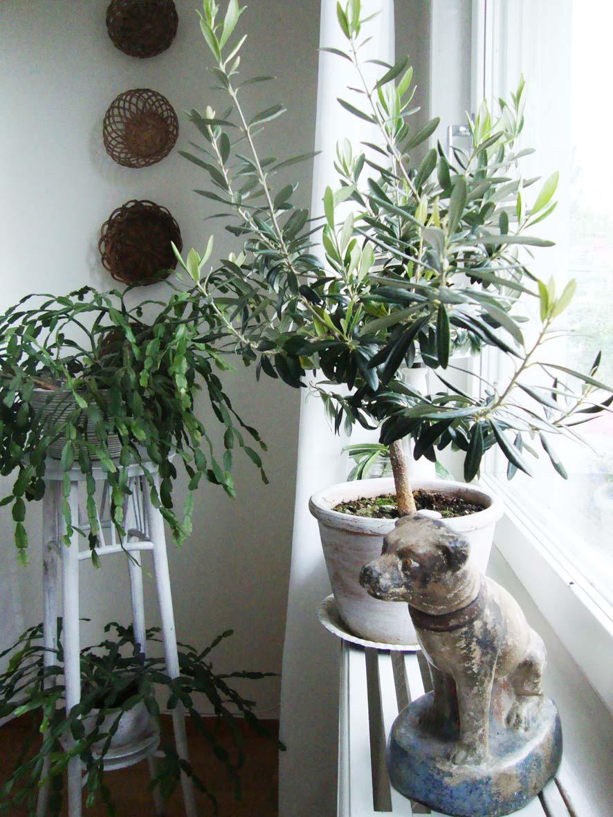 solstrimmor Korgar på väggen och farmors kaktus
