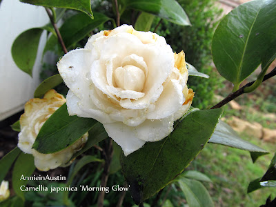 AnnieinAustin ruined Camellia Morning Glow