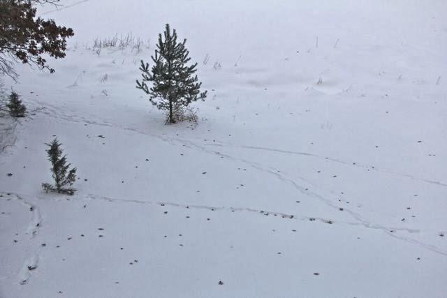 deer tracks in the snow