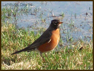 Robin - photo by Shelley Banks