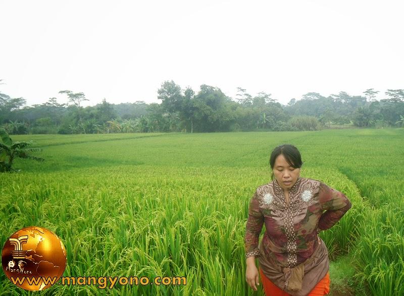 FOTO : Istri saya ngaroris tanaman padi di blok Tegal Sungsang yang terkena hama Beluk.