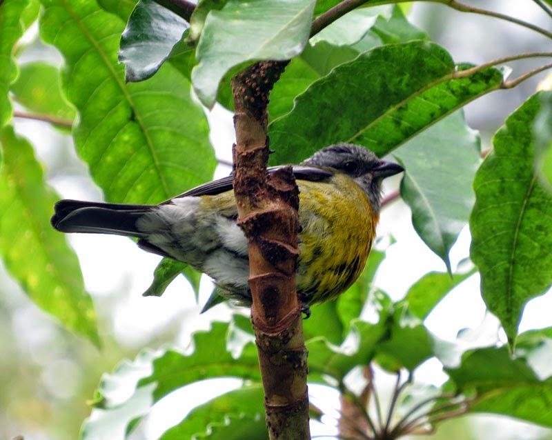 Birdernaturalist: Jamaica's En...