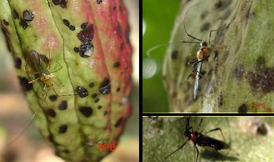 Penghisap Buah Kakao (Helopeltis sp)