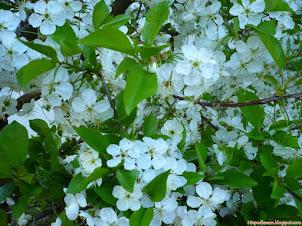 Wiśnie - dlaczego lepiej ciąć latem
