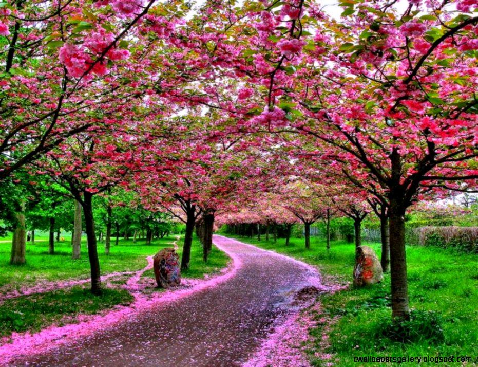 Japanese Cherry Blossom Garden Wallpaperhttprefreshrose