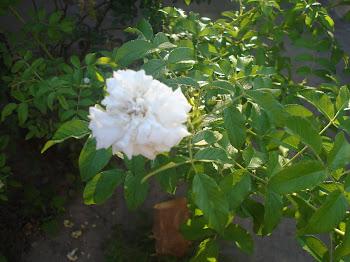 meu pé de rosas