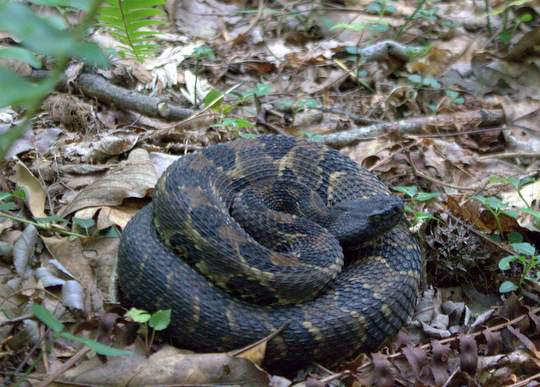 Timber rattlesnake in the Great Smoky Mountains National Park