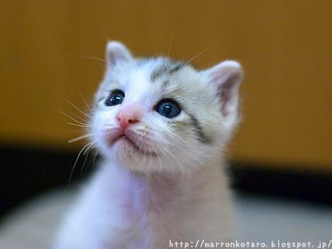 カワイイ横耳の子猫の画像 <親ばか
