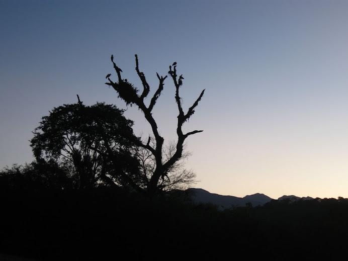 Bandurrias en el amanecer en el parque