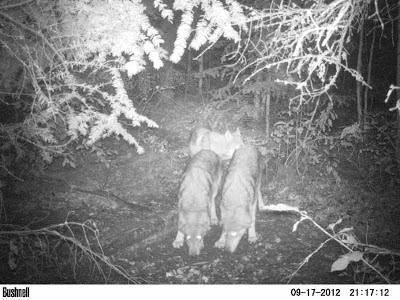 Timber wolves at night