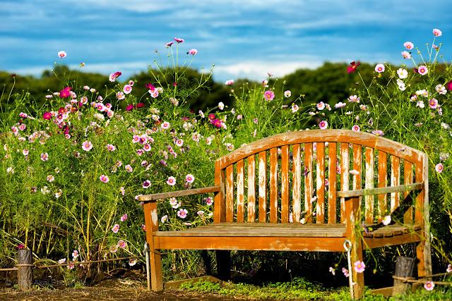 昭和記念公園、みんなの原っぱ西花畑のコスモスとベンチ