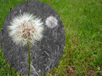 a Macros of a Dandelion