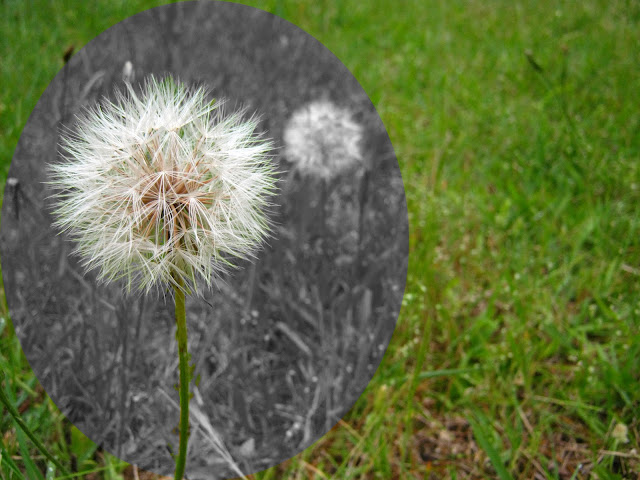 A Dandelion  over the grass