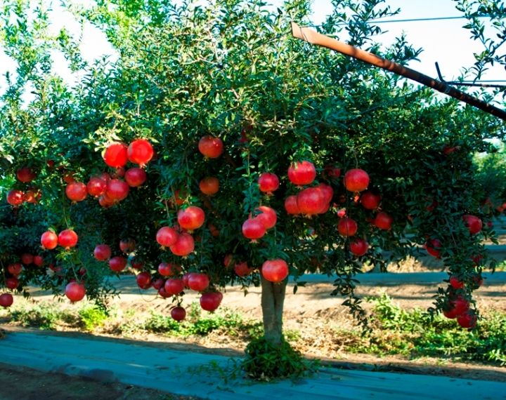 The project review trivia pomegranate the real for Arboles frondosos para jardin