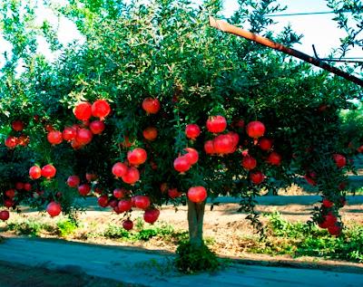 http://3.bp.blogspot.com/-_T4xXP50NCs/UGUxNa6yaFI/AAAAAAAACho/iNQCpOwHZH8/s1600/pomegranate+tree.jpg