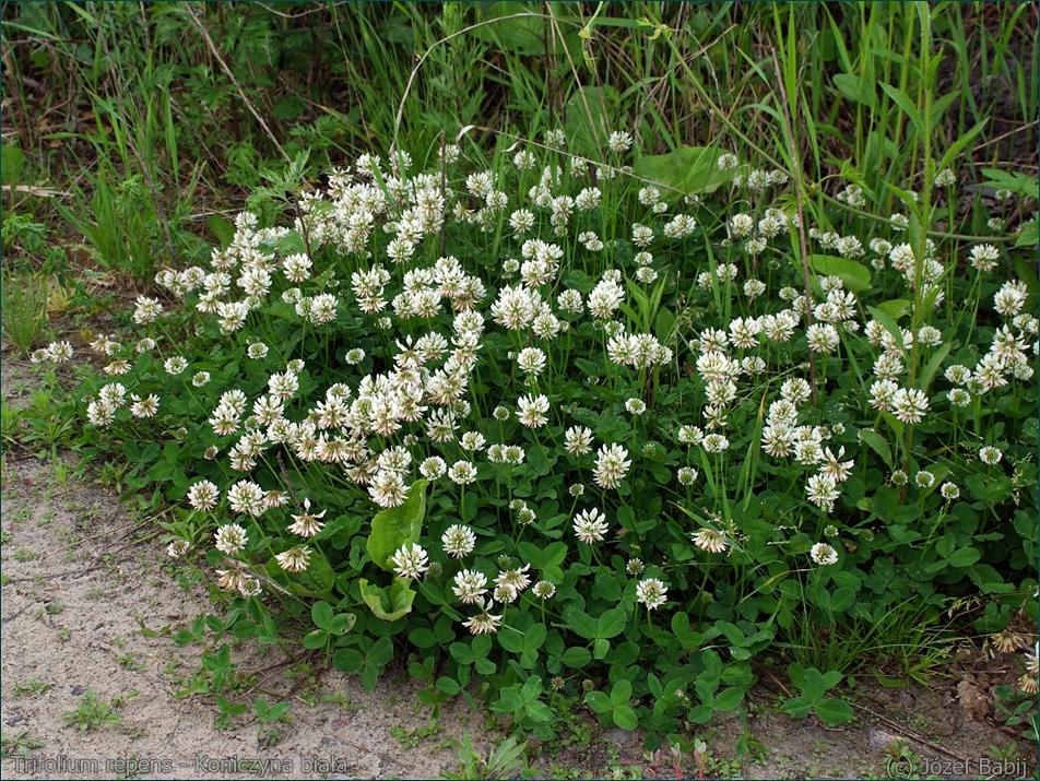 Trifolium repens - Koniczyna biała, koniczyna rozesłana latem