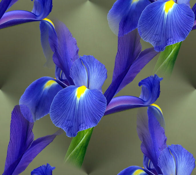 Iris Flower - Looking Gorgeous in Garden