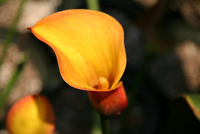 photo Calla Captain Safari