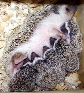 Erizo hembra alimentando a sus crias