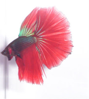 12 Type Of Betta Fish By Tail Types - Combtail