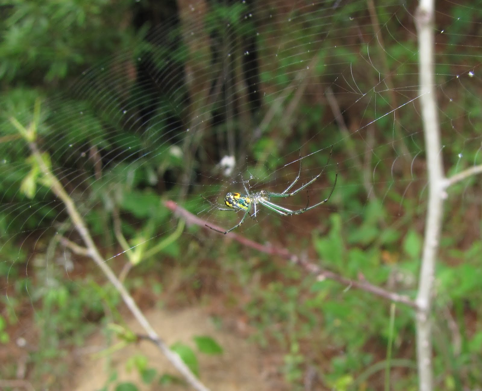 bug eric spider sunday orchard orbweaver