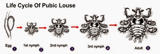 Life Cycle Of Pubic Louse