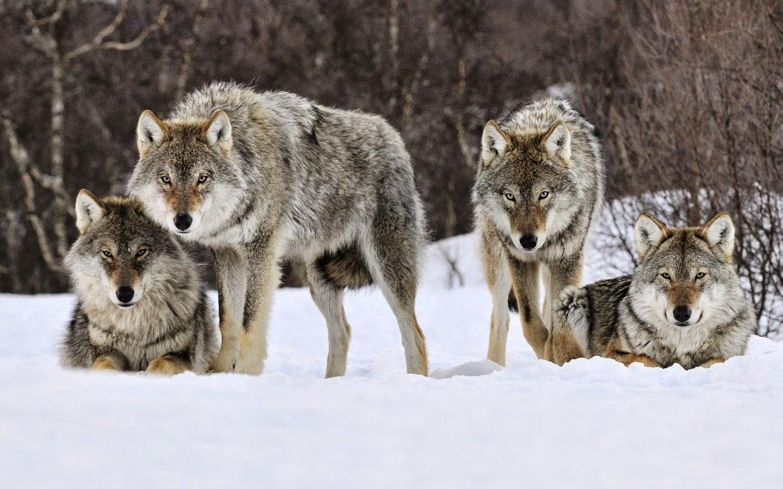 El Lobo Gris Especie en Peligro de Extinción