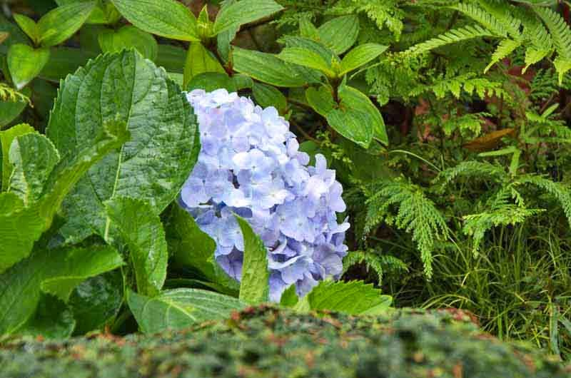 pale blue and white hydrangea