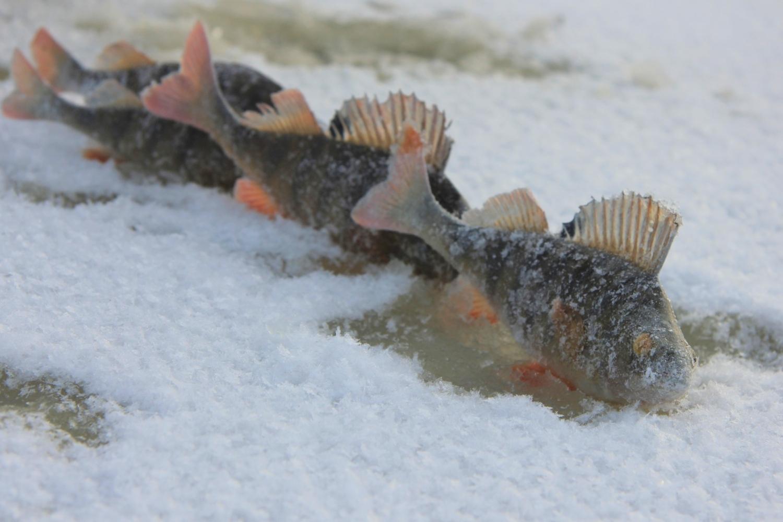 Зимняя рыбалка. Окунь по первому льду