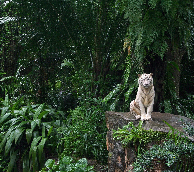 White tiger background tumblr - photo#12