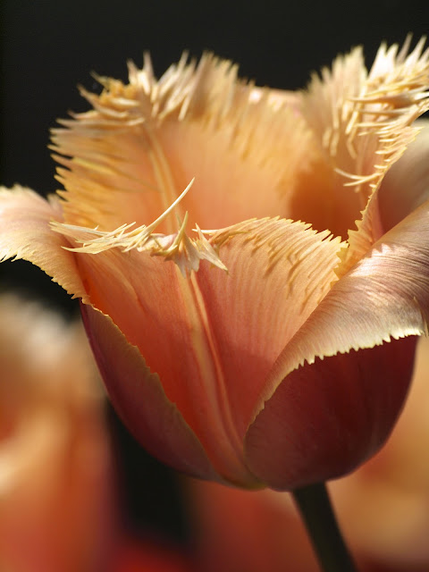 Tulip, Upper Westside community garden, NYC