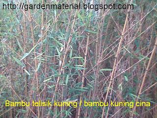 Bambu kuning cina atau telisik kuning bukan sekedar pagar rumah