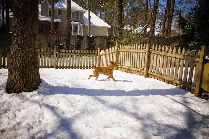 irish terrier in snow