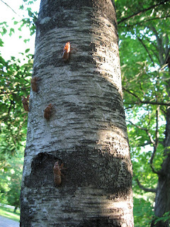 Cicada skins which look like they march up the tree
