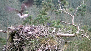 Female osprey sets of with our male's latest catch