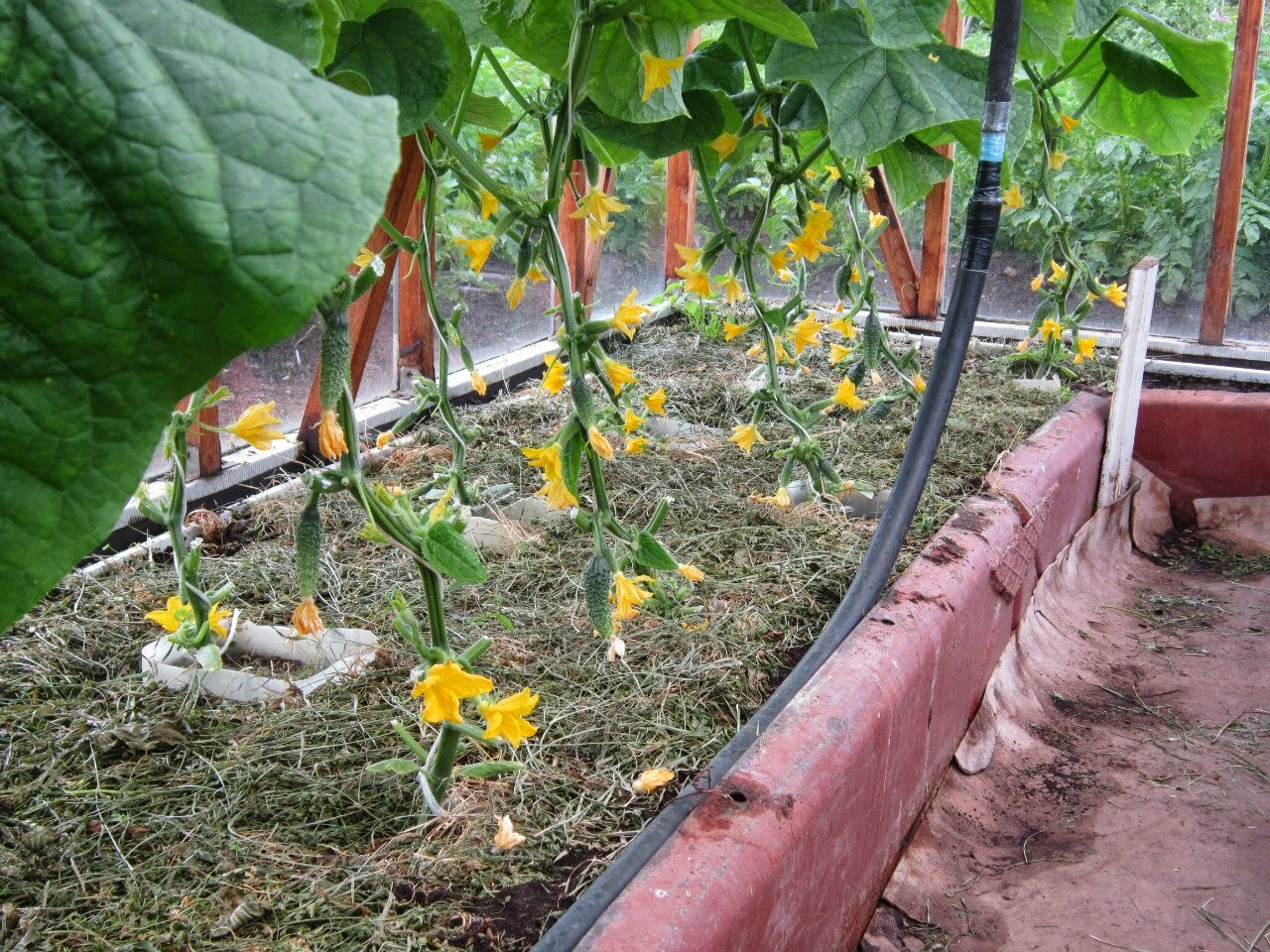 Особенности выращивания пучковых огурцов