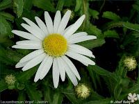 Leucanthemum 'Angel' - Jastrun