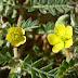 Demirdikeni bitkisi ve faydaları